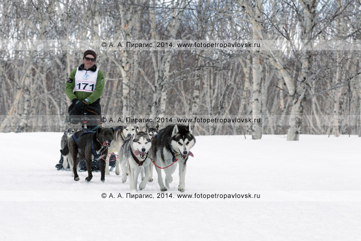 """Фотография: собачья упряжка (аляскинские хаски) камчатского каюра Семашкина Андрея бежит по трассе в лесу. Камчатские соревнования по ездовому спорту в дисциплине """"упряжки"""" на средние дистанции (40 километров)"""
