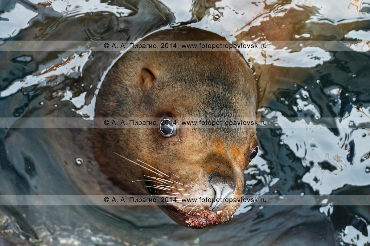Фотография: морской лев Стеллера, или сивуч, — Eumetopias jubatus. Отряд Ластоногие — Pinnipedia. Семейство Ушастые тюлени — Otariidae. Камчатка, Авачинская бухта (Авачинская губа)