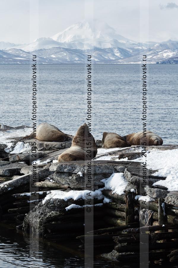 Морские львы Стеллера, или сивучи, — Eumetopias jubatus (отряд Ластоногие — Pinnipedia, семейство Ушастые тюлени — Otariidae). Лежбище сивучей в Петропавловске-Камчатском. Авачинская бухта, бухта Моховая