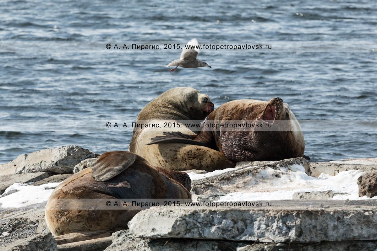 Сивучи, или морские львы Стеллера, — Eumetopias jubatus (Schreber, 1776) (отряд Ластоногие — Pinnipedia, семейство Ушастые тюлени — Otariidae). Лежбище сивучей в Петропавловске-Камчатском. Авачинская губа, бухта Моховая