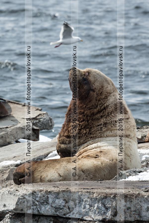Сивуч, или морской лев Стеллера, — Eumetopias jubatus (Schreber, 1776) (отряд Ластоногие — Pinnipedia, семейство Ушастые тюлени — Otariidae). Лежбище сивучей в Петропавловске-Камчатском. Авачинская губа, бухта Моховая