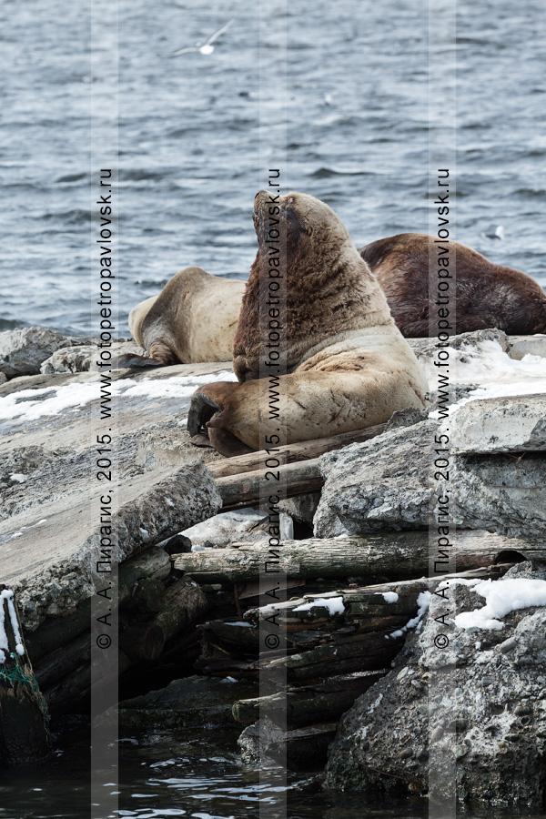 Сивучи, или морские львы Стеллера, — Eumetopias jubatus (Schreber, 1776) (отряд Ластоногие — Pinnipedia, семейство Ушастые тюлени — Otariidae). Лежбище сивучей в Петропавловске-Камчатском. Авачинская бухта, бухта Моховая
