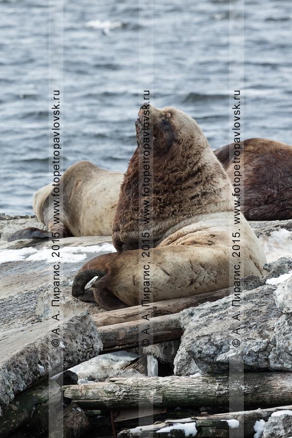 Сивучи, или морские львы Стеллера, — Eumetopias jubatus (Schreber, 1776) (отряд Ластоногие — Pinnipedia, семейство Ушастые тюлени — Otariidae). Лежбище сивучей в городе Петропавловске-Камчатском. Авачинская губа, бухта Моховая