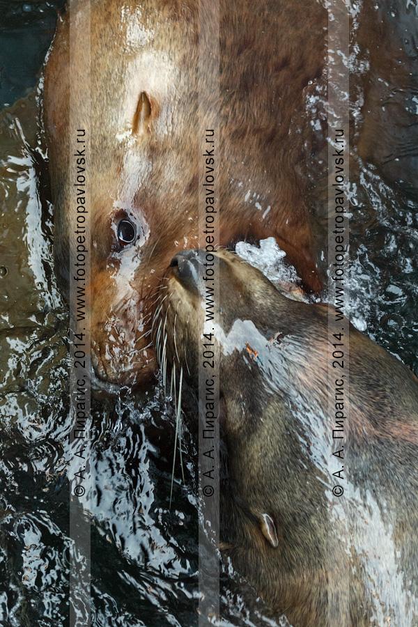 Фотография: два морских льва Стеллера, или сивуча, — Eumetopias jubatus. Отряд Ластоногие — Pinnipedia. Семейство Ушастые тюлени — Otariidae. Полуостров Камчатка, Авачинская бухта (Авачинская губа)