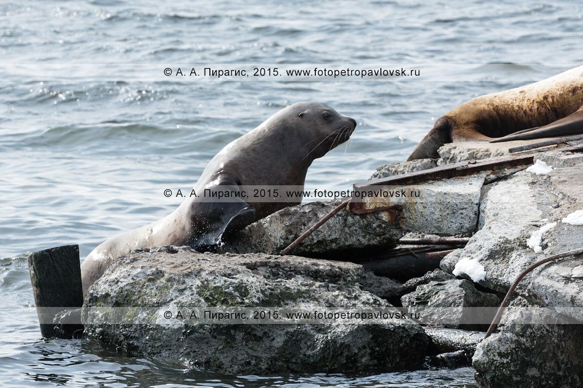 Морской лев Стеллера, или сивуч, — Eumetopias jubatus (отряд Ластоногие — Pinnipedia, семейство Ушастые тюлени — Otariidae). Лежбище сивучей в Петропавловске-Камчатском. Авачинская бухта, бухта Моховая