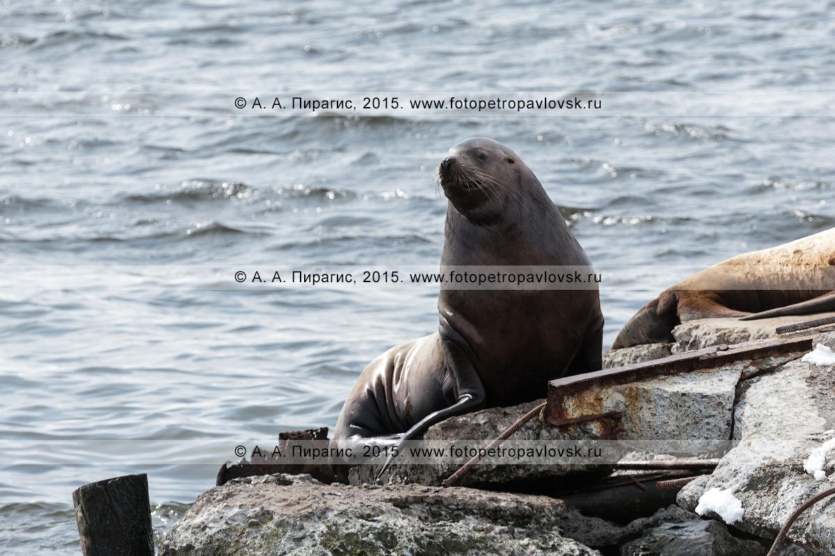 Морской лев Стеллера, или сивуч, — Eumetopias jubatus (Schreber, 1776) (отряд Ластоногие — Pinnipedia, семейство Ушастые тюлени — Otariidae). Лежбище сивучей в городе Петропавловске-Камчатском. Авачинская губа, бухта Моховая