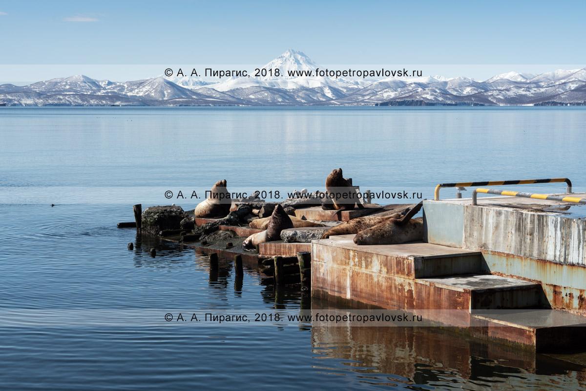Фотография: береговое лежбище сивучей, или морских львов Стеллера, на пирсе в городе Петропавловске-Камчатском на берегу бухты Моховой Авачинской губы