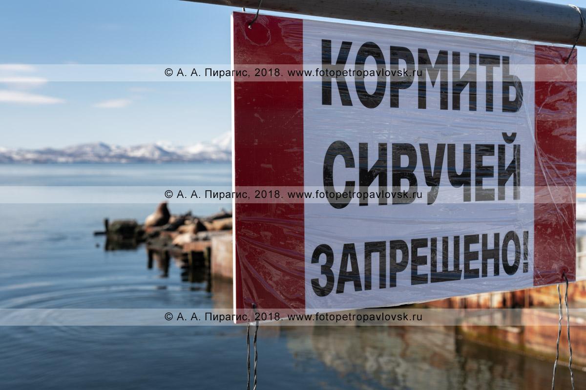 """Фотография: предупреждающая табличка возле берегового лежбища морских львов Стеллера, надпись: """"Кормить сивучей запрещено!"""""""