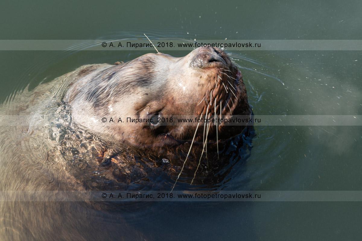 Фотография: портрет плывущего морского льва Стеллера, занесенного в Красную книгу Камчатки, Красную книгу Российской Федерации и Красный список МСОП-96