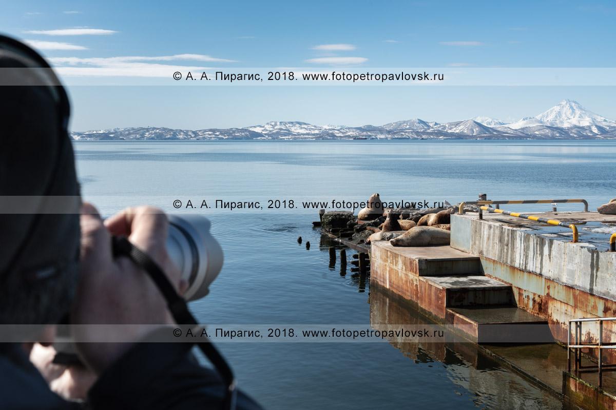 Фотография: любитель дикой природы полуострова Камчатка во время фотоохоты на морских млекопитающих — сивучей, или морских львов Стеллера