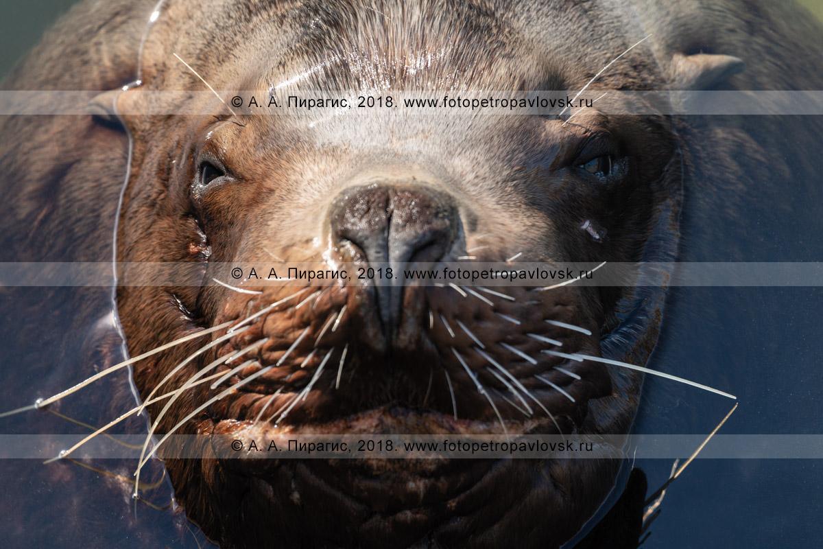 Фотография: морда морского млекопитающего — сивуча, занесенного в Красную книгу Камчатки, Красную книгу Российской Федерации и Красный список МСОП-96