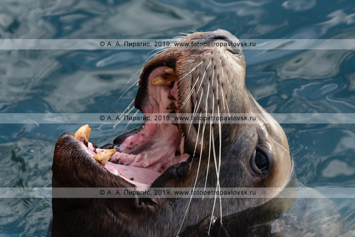 Фотография: портрет хищного сивуча, или морского льва Стеллера, с широко разинутой пастью