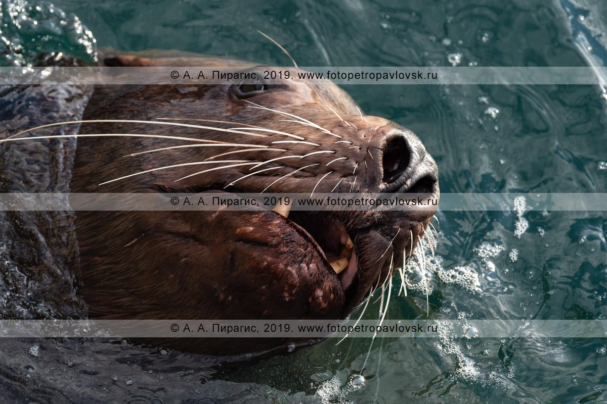 Фотография: портрет плывущего морского льва Стеллера