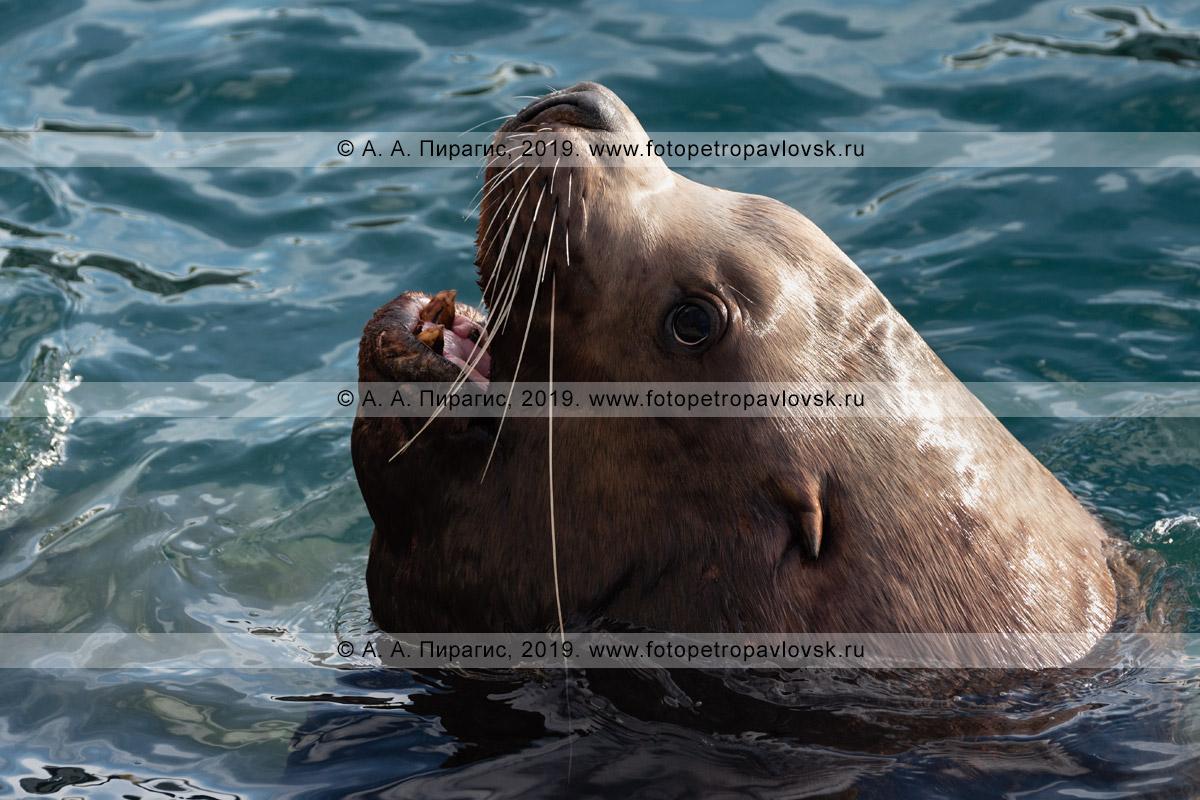 Фотография: портрет сивуча, или морского льва Стеллера, высунувшего голову из морской пучины