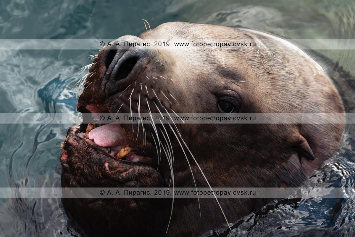 Фотография: портрет взрослого морского льва Стеллера, или сивуча, с открытой пастью и высунутым языком