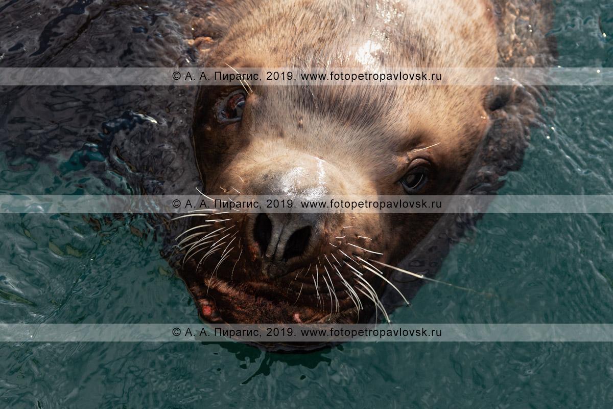 Фотография: голова хищного ушастого тюленя — сивуча крупным планом, портрет дикого зверя, выглядывающего из морской воды