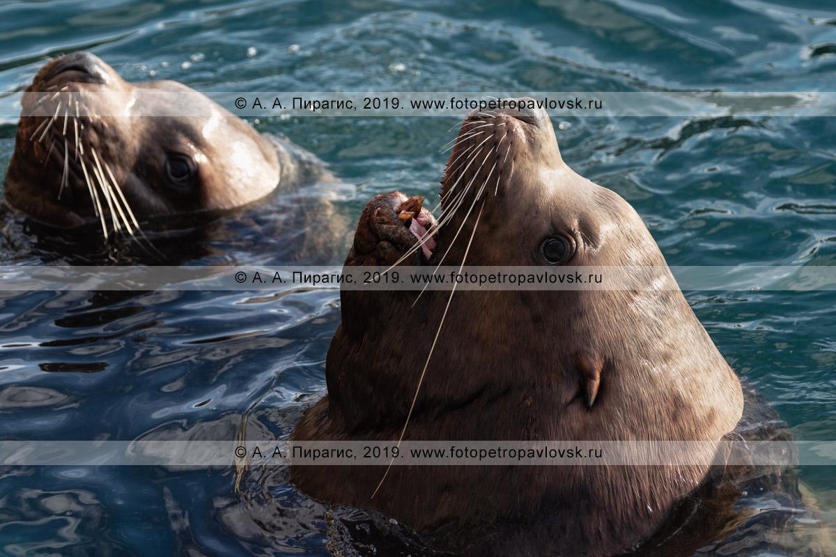 Фотография: краснокнижные морские львы, или сивучи, высунувшие головы из воды