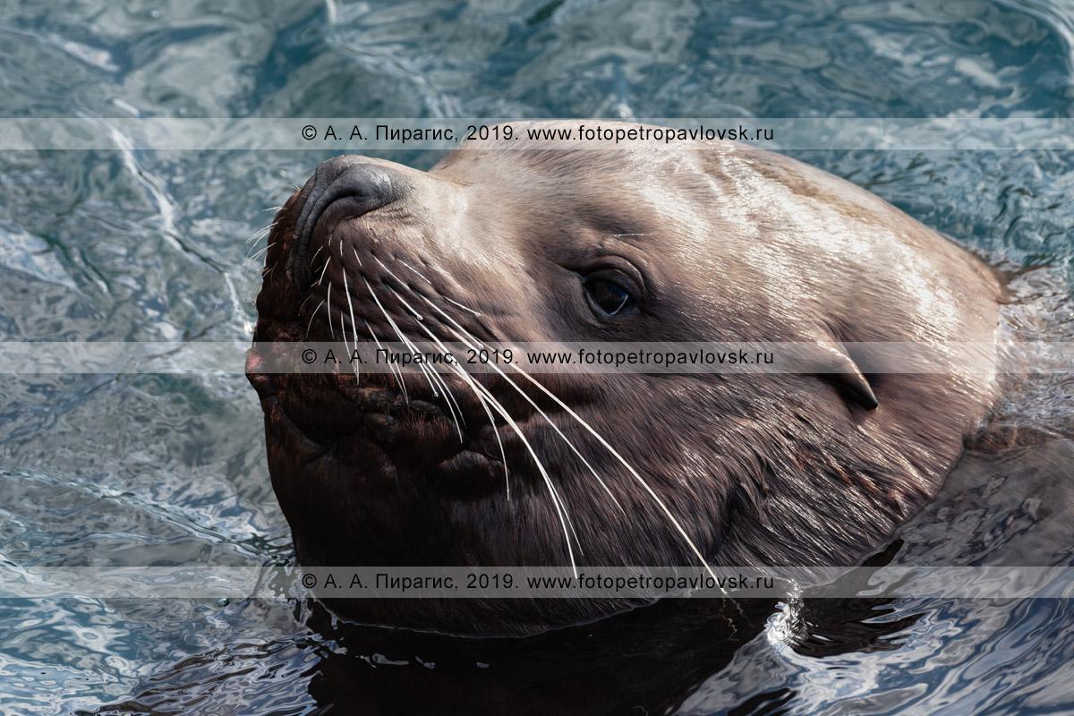 Фотография: портрет дикого морского млекопитающего — задумчивая морда сивуча, или морского льва Стеллера, высунутая из воды