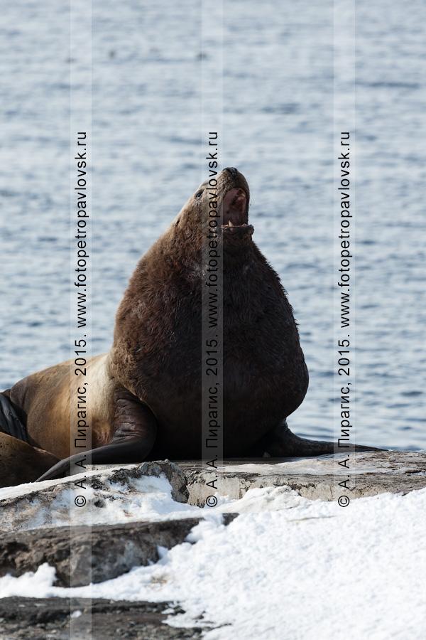 Морской лев Стеллера, или сивуч, — Eumetopias jubatus (Schreber, 1776) (отряд Ластоногие — Pinnipedia, семейство Ушастые тюлени — Otariidae). Лежбище сивучей в городе Петропавловске-Камчатском. Авачинская бухта, бухта Моховая