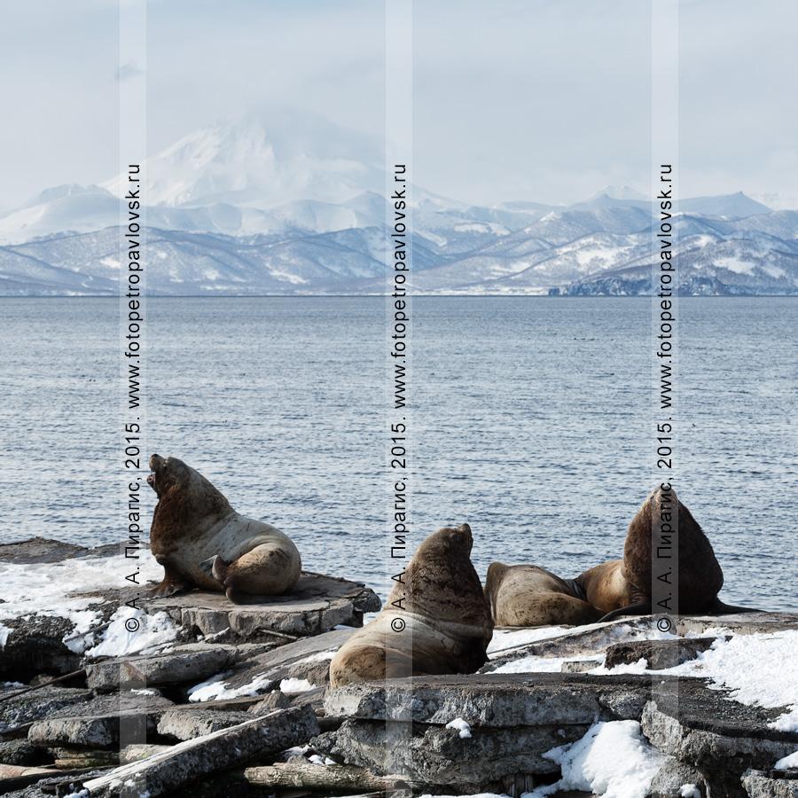 Морские львы Стеллера, или сивучи, — Eumetopias jubatus (отряд Ластоногие — Pinnipedia, семейство Ушастые тюлени — Otariidae). Лежбище сивучей в Петропавловске-Камчатском. Авачинская губа, бухта Моховая