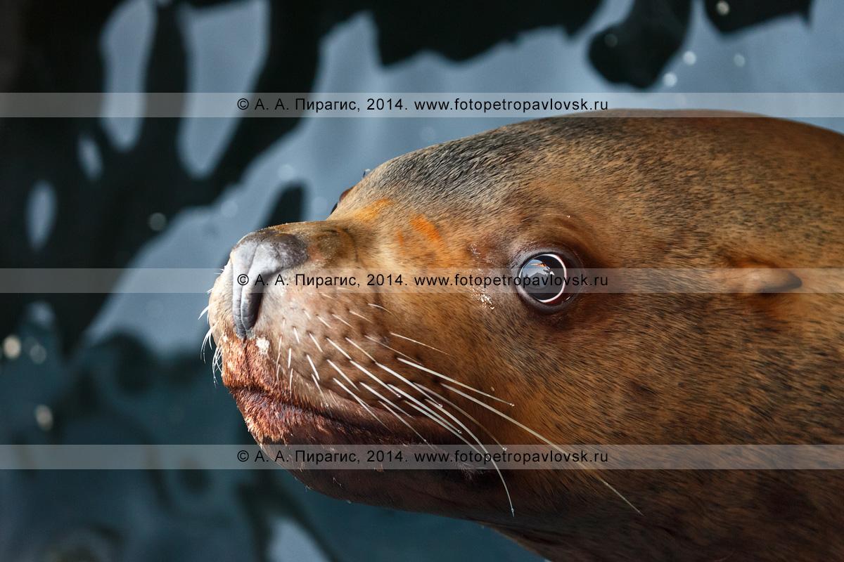 Фотография: сивуч, или морской лев Стеллера, — Eumetopias jubatus. Отряд Ластоногие — Pinnipedia. Семейство Ушастые тюлени — Otariidae. Камчатка, Авачинская губа (Авачинская бухта)