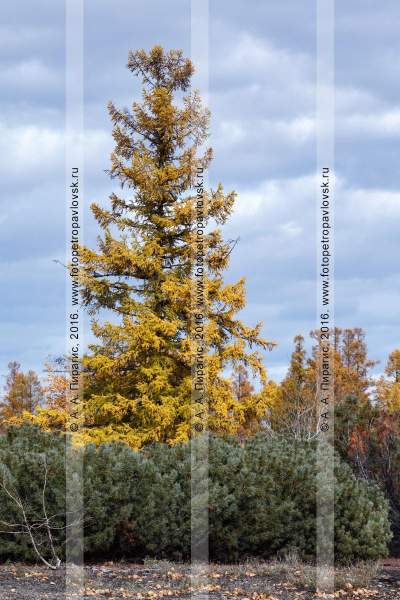 Фотография: осенний пейзаж Камчатского края, хвойный лес— оранжево-желтое дерево лиственницы Каяндера и кусты вечнозеленого кедрового стланика