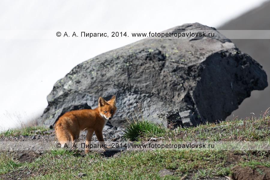 Фотография: лиса возле камня на экструзии Верблюд (гора Верблюд). Полуостров Камчатка