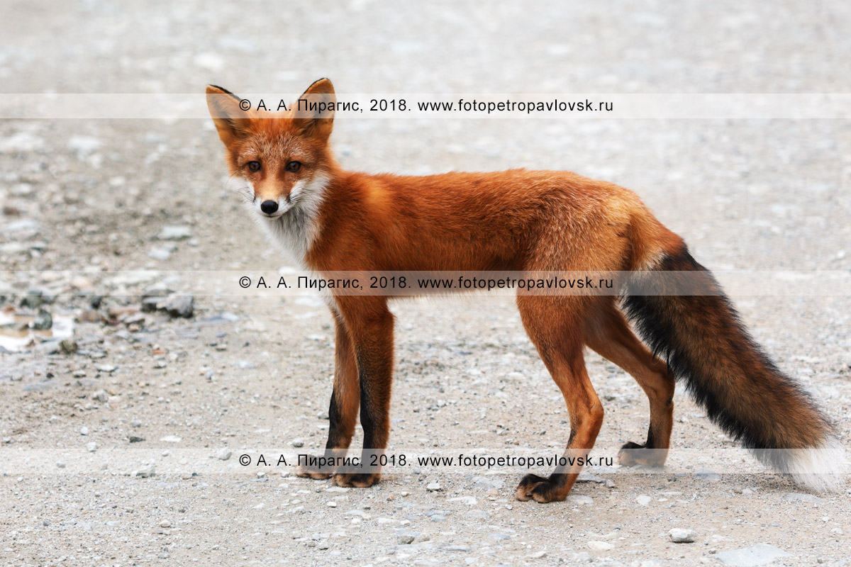 Фотография: лисица, лиса, рыжая или обыкновенная лисица