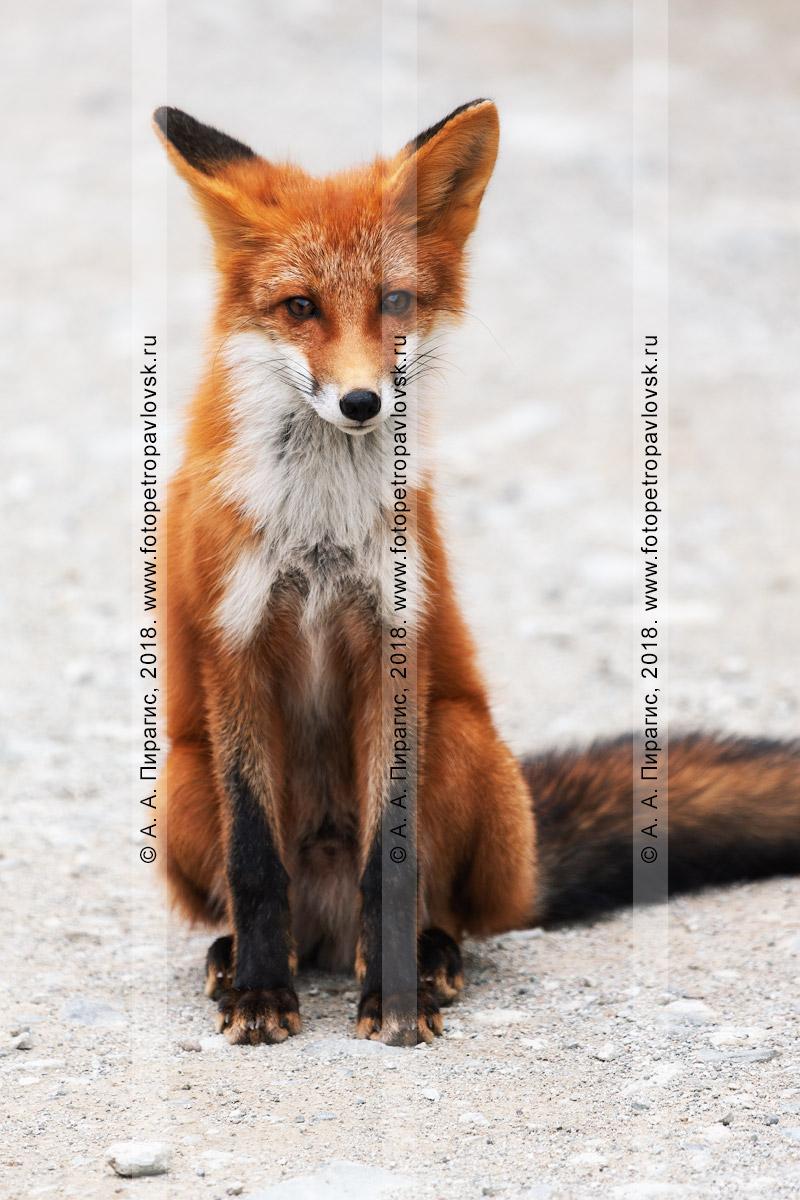 Фотография: рыжая лисица — средний по размерам зверь с вытянутым изящным и стройным телом, вытянутой мордой, острыми ушами, длинным пушистым хвостом, красивым мехом