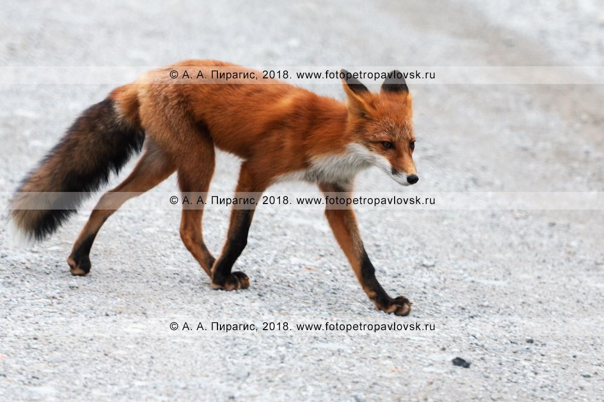 Фотография: лисица обыкновенная — один из самых грациозных хищников семейства псовых