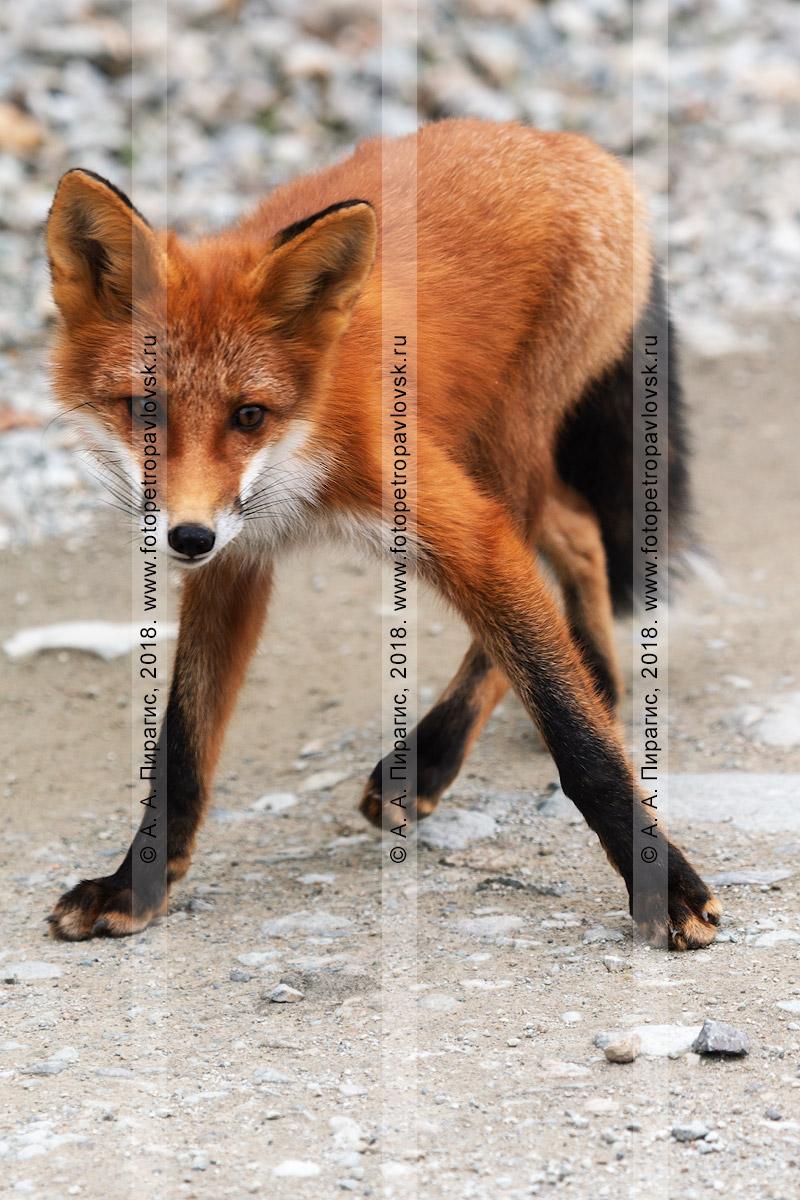 Фотография: лисице отведено не последнее место в народном фольклоре, ее хитрость описывается во многих рассказах и сказках