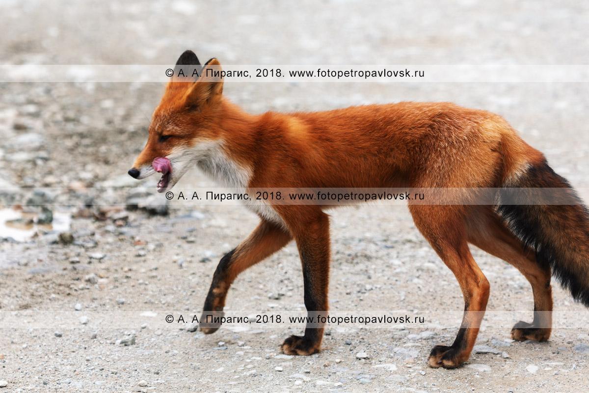 Фотография: рыжая лисица, спокойно передвигающаяся шагом или легкой рысцой