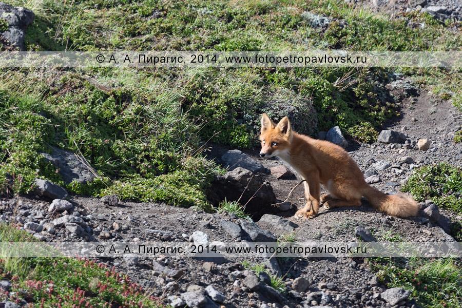 Фотография: лиса сидит возле норы на вершине экструзии Верблюд (гора Верблюд). Камчатский край