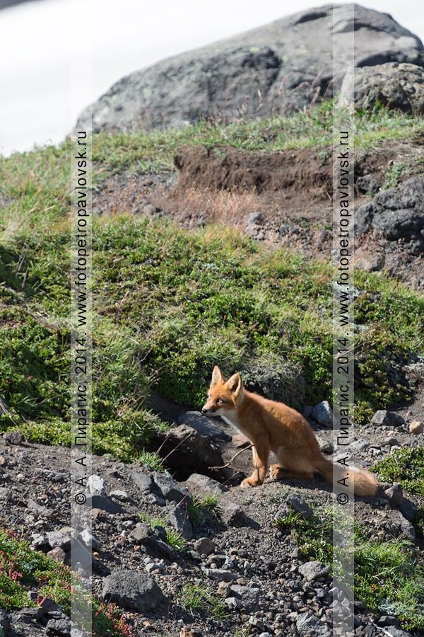 Фотография: лиса возле норы на горе Верблюд (экструзия Верблюд). Камчатский край