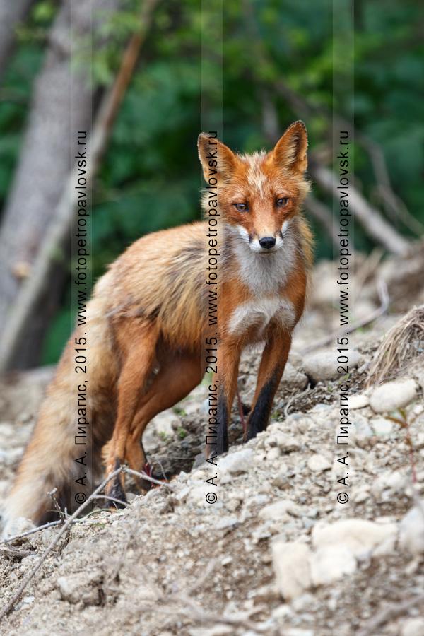 Фотография: лиса, лисица, обыкновенная или рыжая лисица. Полуостров Камчатка
