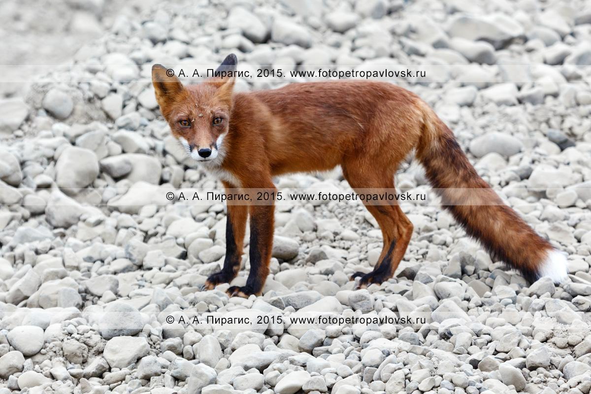 Фотография: камчатская фауна — лиса, лисица, обыкновенная или рыжая лисица — хищник семейства псовых