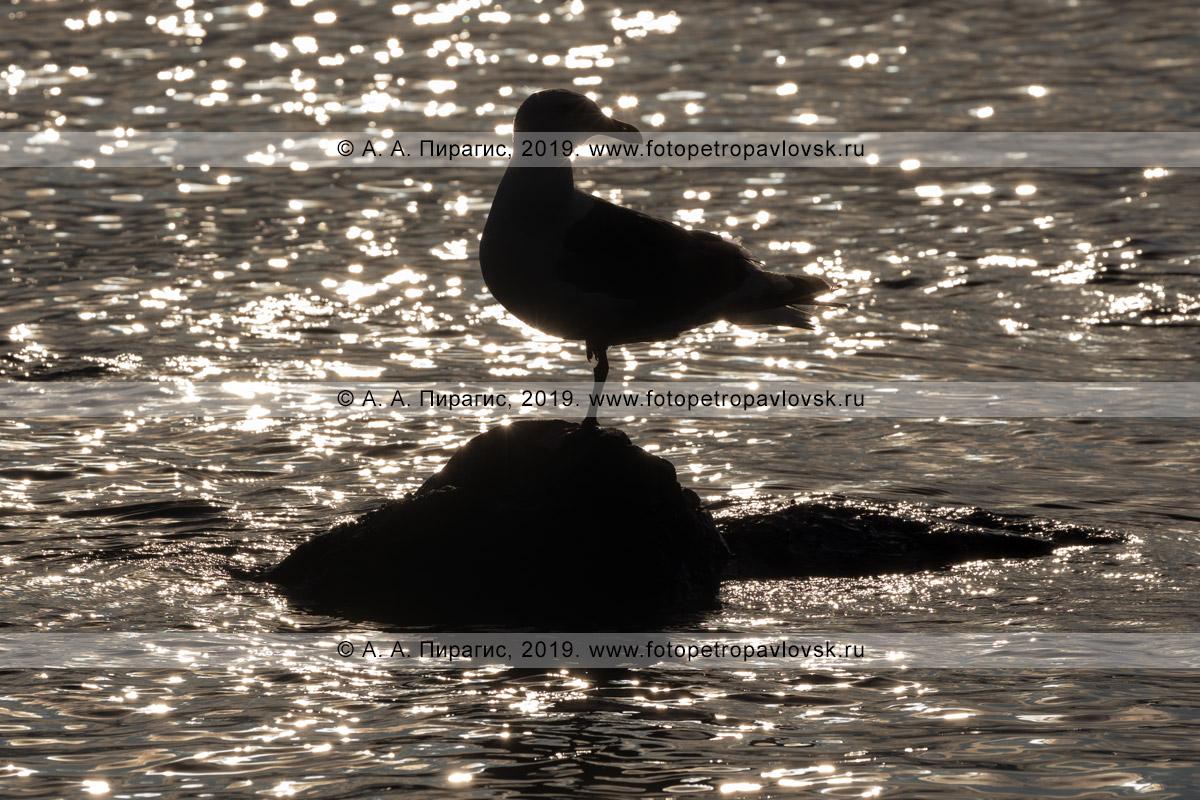 Фотография: дикая морская птица тихоокеанская чайка стоит на одной ноге на камне в Тихом океане