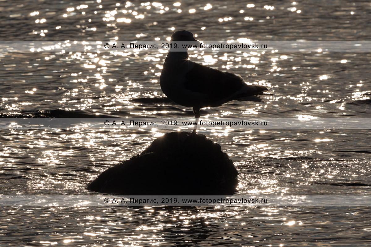 Фотография: тихоокеанская чайка стоит на камне, в окружении солнечных бликов волн Тихого океана на закате солнца