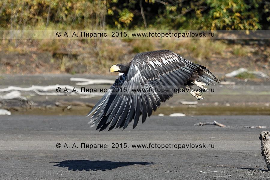 Фотография: полет белоплечего орлана над берегом реки Камчатки. Камчатский край, Усть-Камчатский район