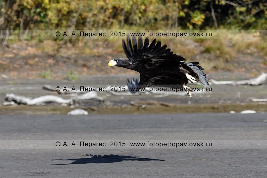 Фотография: белоплечий орлан летит вдоль берега реки Камчатки. Камчатский край, Усть-Камчатский муниципальный район
