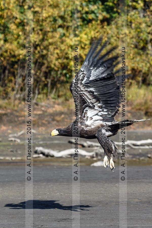 Фотография: хищная птица — белоплечий орлан летит вдоль берега реки Камчатки. Усть-Камчатский район, Камчатский край