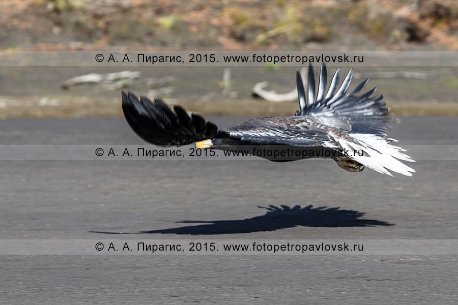Фотография: полет камчатского хищника — белоплечего орлана над берегом реки Камчатки в Усть-Камчатском районе Камчатского края