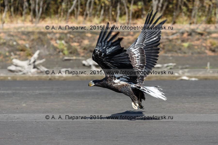 Фотография: полет хищной птицы полуострова Камчатка — белоплечего орлана над берегом реки Камчатки