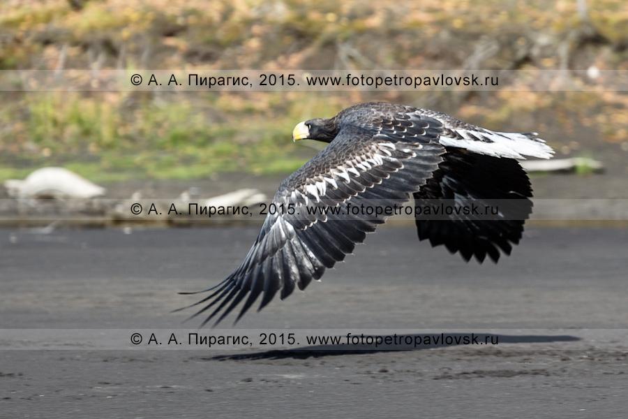 хищная камчатская птица — белоплечий орлан летит вдоль берега реки Камчатки