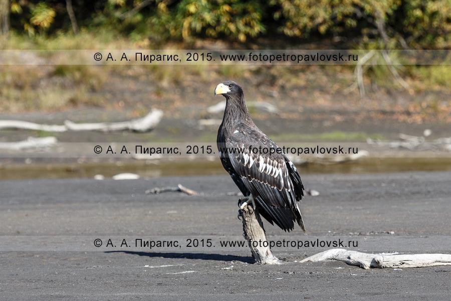 Фотография: орлан — Haliaeetus, отряд Соколообразные — Falconiformes, семейство Ястребиные — Accipitridae. Полуостров Камчатка