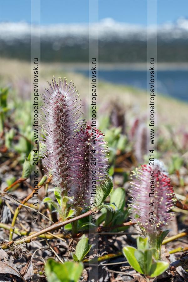 Фотография: ива арктическая — Salix arctica Pall. (семейство Ивовые) на полуострове Камчатка