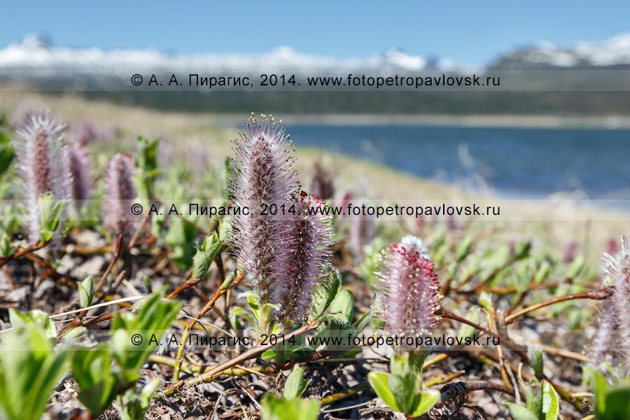 Фотография: ива арктическая — Salix arctica Pall. (семейство Ивовые) на Камчатке