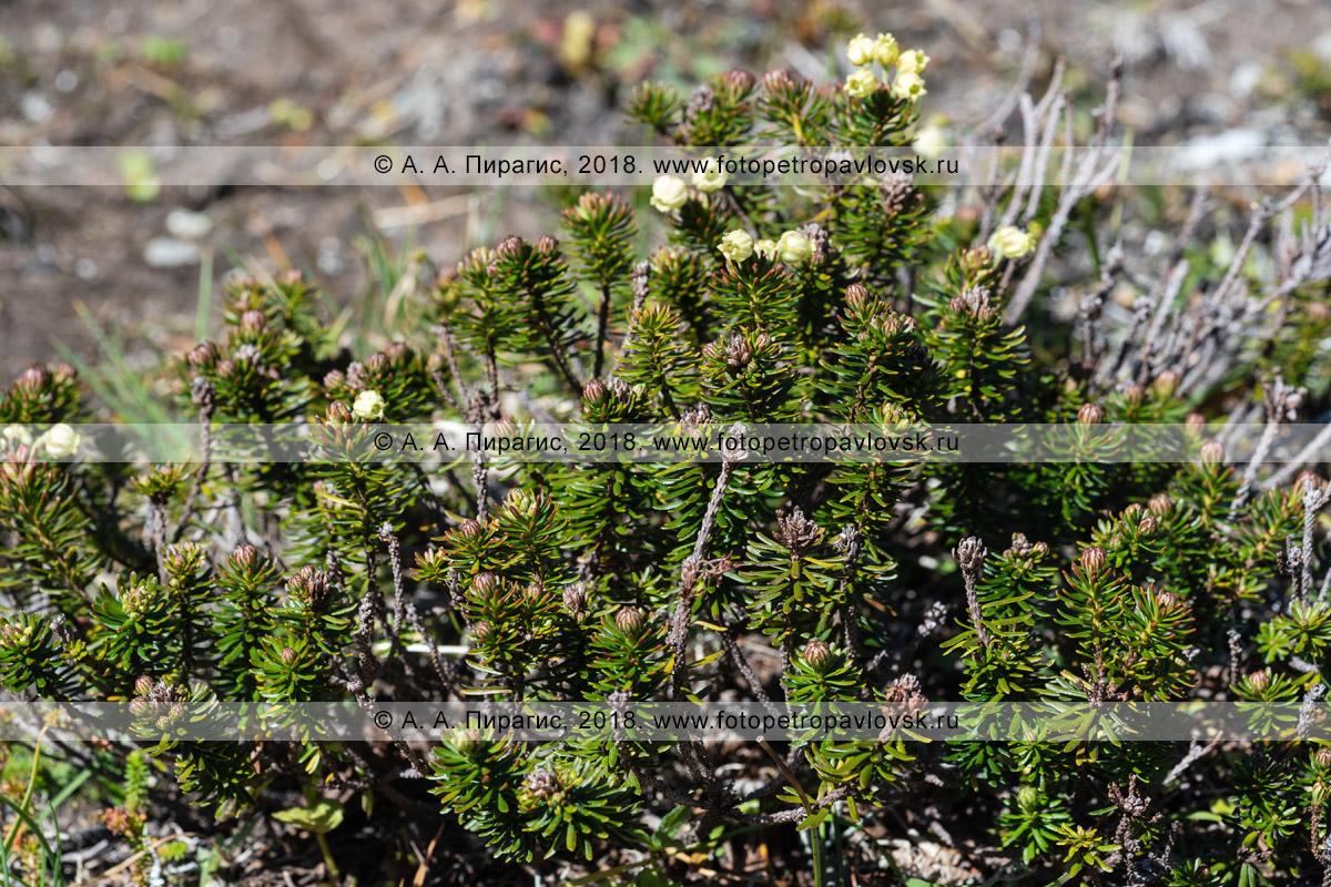 Можжевельник сибирский (Juniperus sibirica Burgsd)— низкий вечнозеленый хвойный стелющийся густоветвистый кустарник семейства Кипарисовые (Cupressaceae), порядка Сосновые (Pinales)