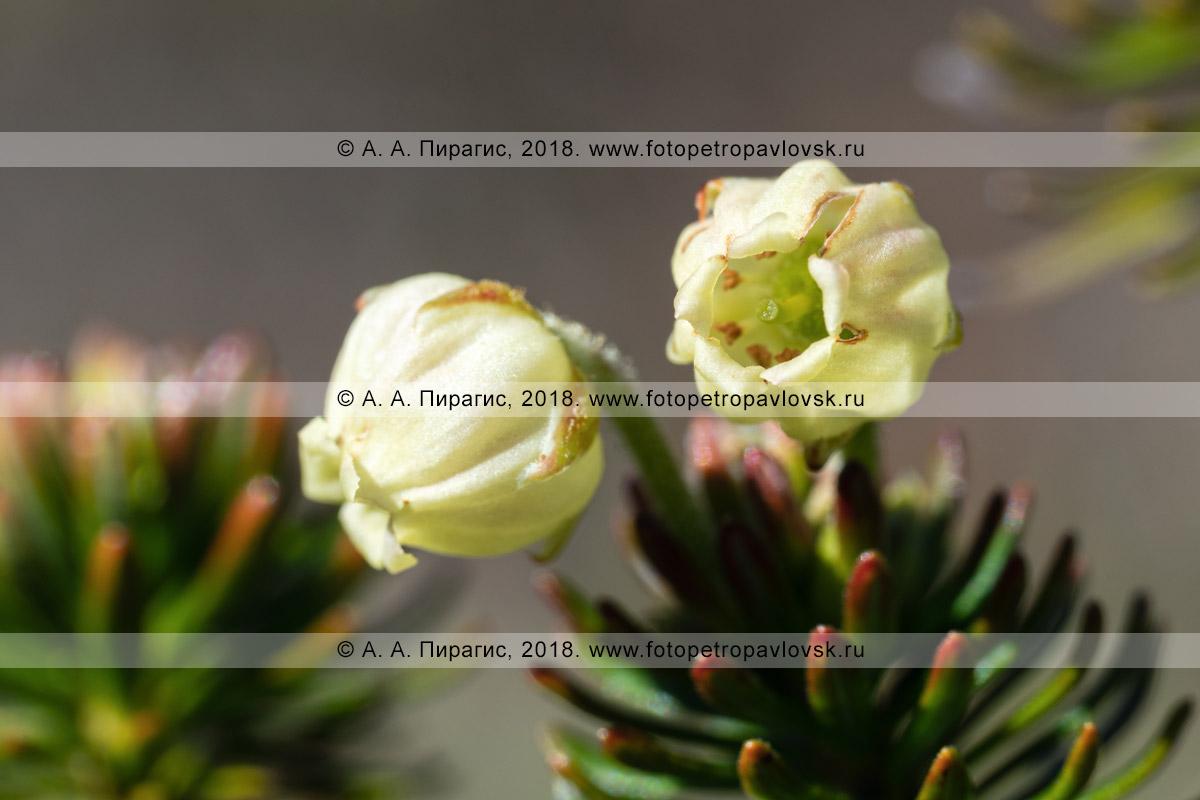 Макрофотография: вид крупным планом на можжевельник сибирский, желтые цветки вечнозеленого хвойного растения