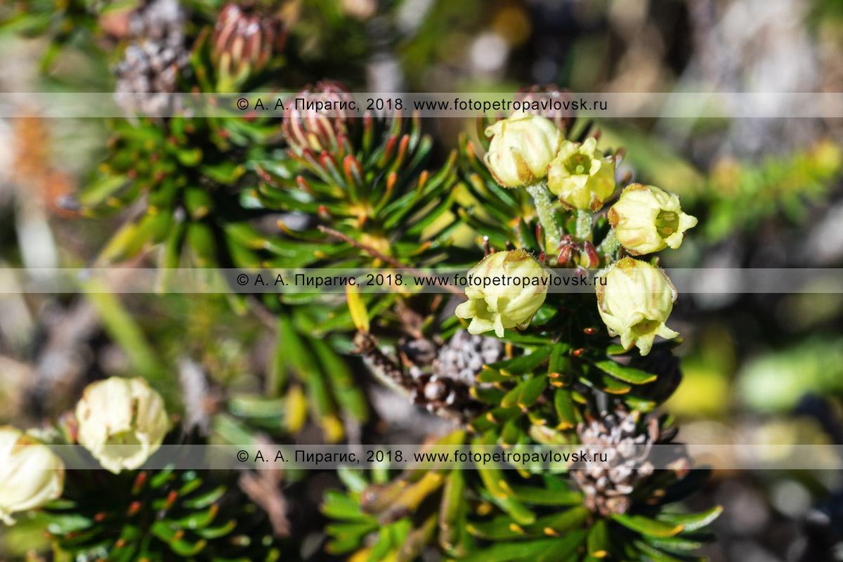 Фотография: цветущий куст можжевельника сибирского